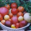 Tomatenpflanzen selbst ziehen