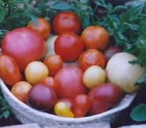 Tomatenpflanzen jetzt kaufen