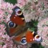 Schmetterlinge – Gäste im Garten