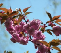Japanisches Kirschblütenfest – Hanami 2012, am 29.April  in Teltow