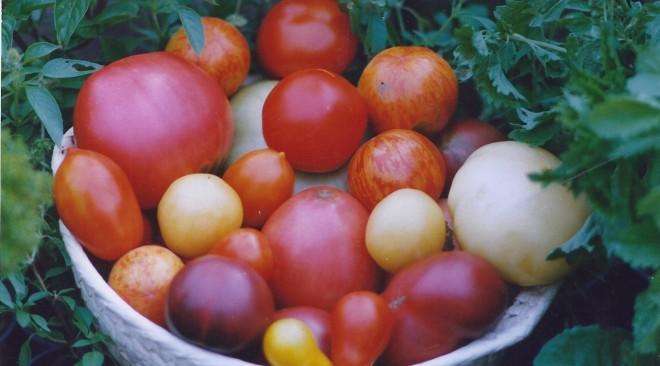 Tomatenpflanzen im kommenden Frühjahr