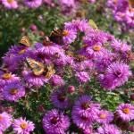 Unzählige Schmetterlinge flattern über den Herbstastern