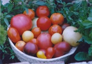 Seltene alte Tomatensorten