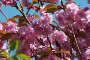 Kirschblüten(Foto Reinhard Engelke)