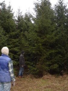 Wie groß darf der Weihnachtsbaum sein?