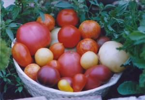 tomatenpflanzen jetzt kaufen landlebenslust. Black Bedroom Furniture Sets. Home Design Ideas