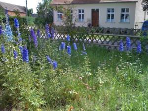 Rittersporn im Bauerngarten