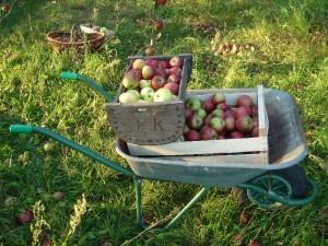 Schubkarre mit Apfelernte